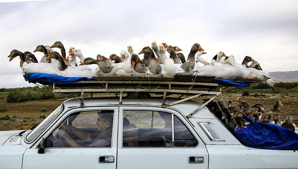 A man transports geese on the roof of his car in Azerbaijan