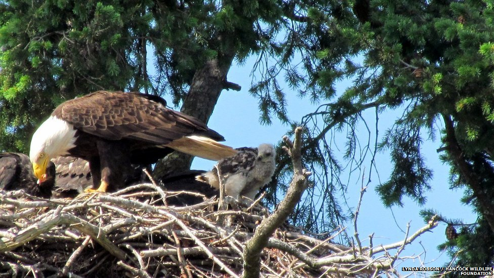 Bald eagle feeds baby red-tailed hawk