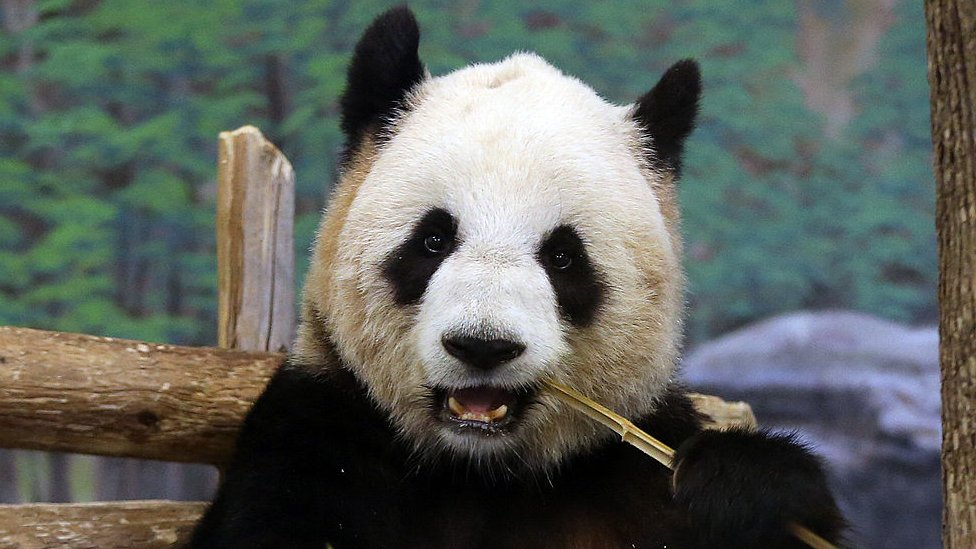 Coronavirus: Pandas leave Canada for China's bamboo thumbnail