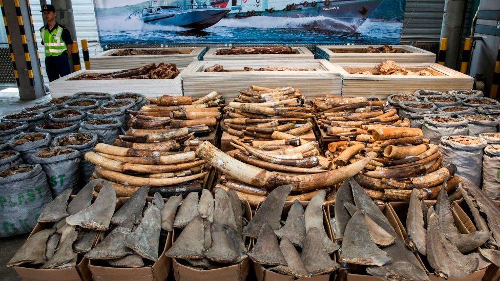 Seized elephant ivory tusks, pangolin scales and shark fins