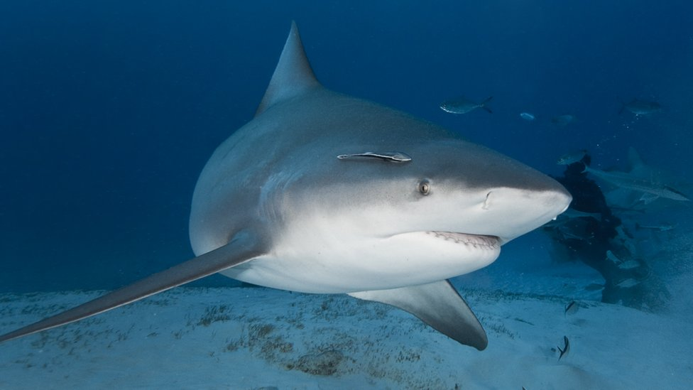 File photo of a bull shark