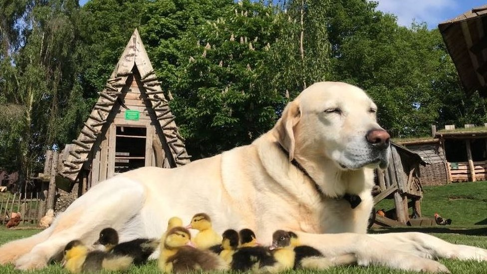 Fred the dog and ducklings