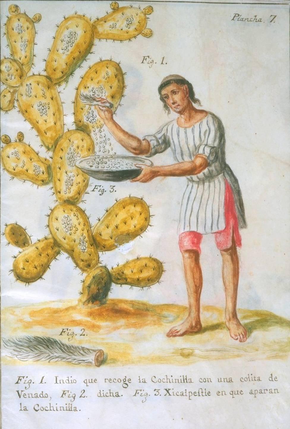 Ilustración de mexicano recolectando cochinilla de carmín