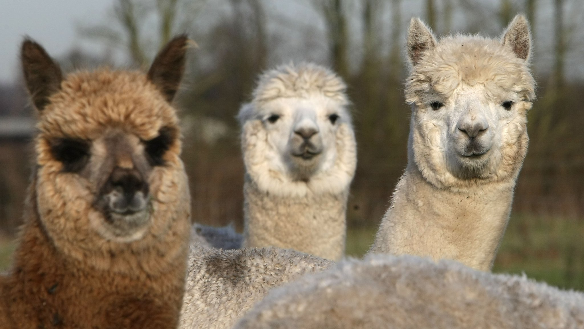 An alpaca walks into a French opticians...