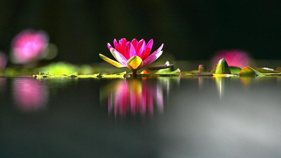 Flores de loto emergiendo del agua