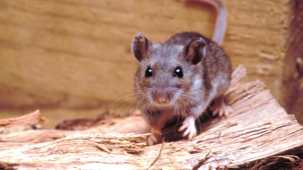 Ratón silvestre