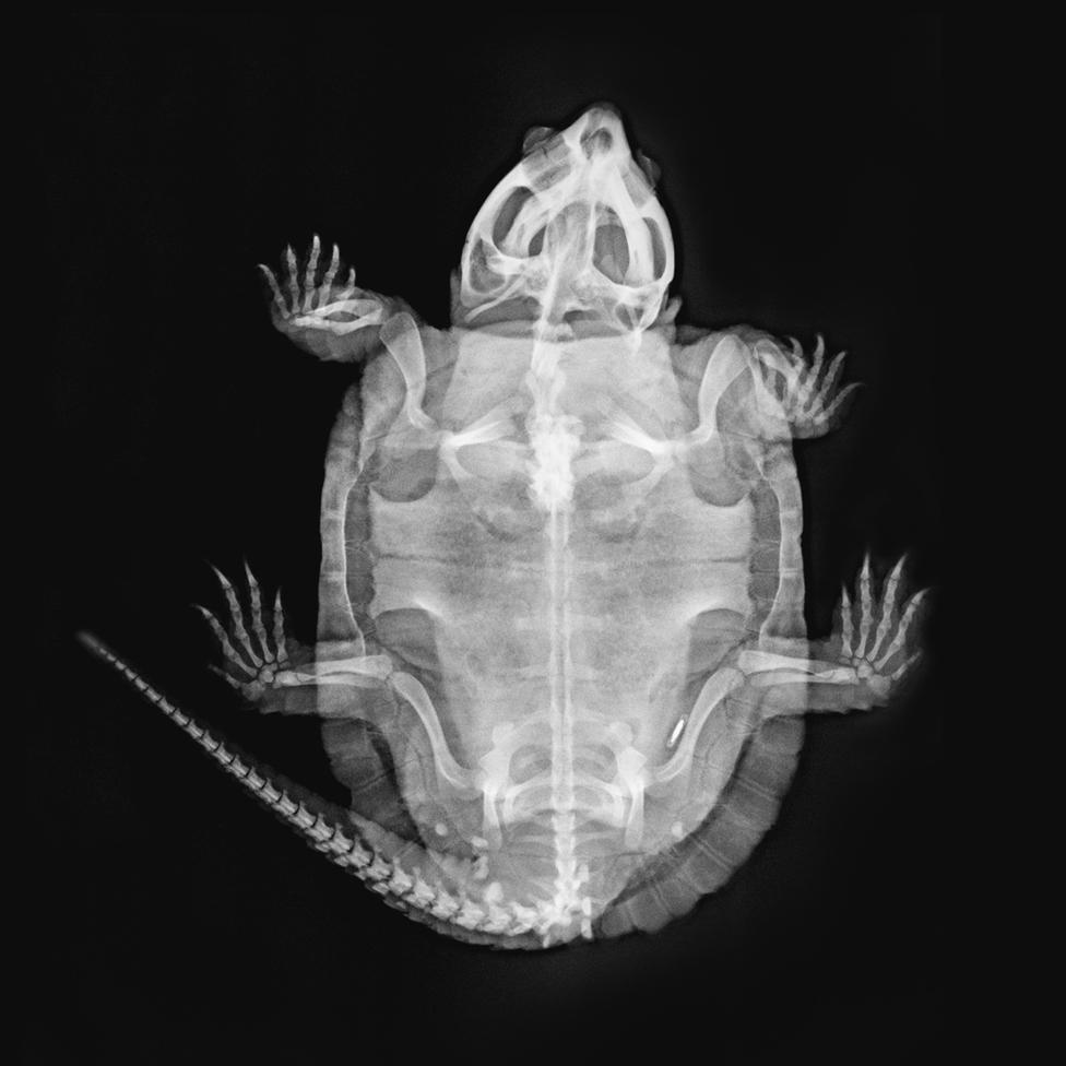 Kornjača (Platysternon megacephalum)