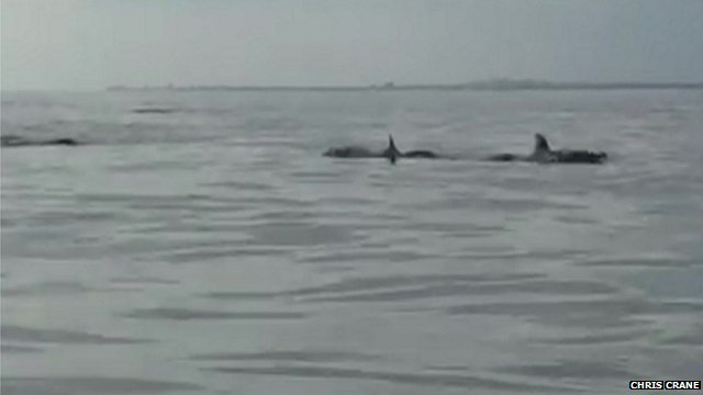 Still from footage showing a pod of dolphins in the water during a fishing contest off the coast of Brighton on Sunday