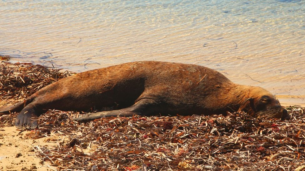 Seal lying on the coast of Western Australia.