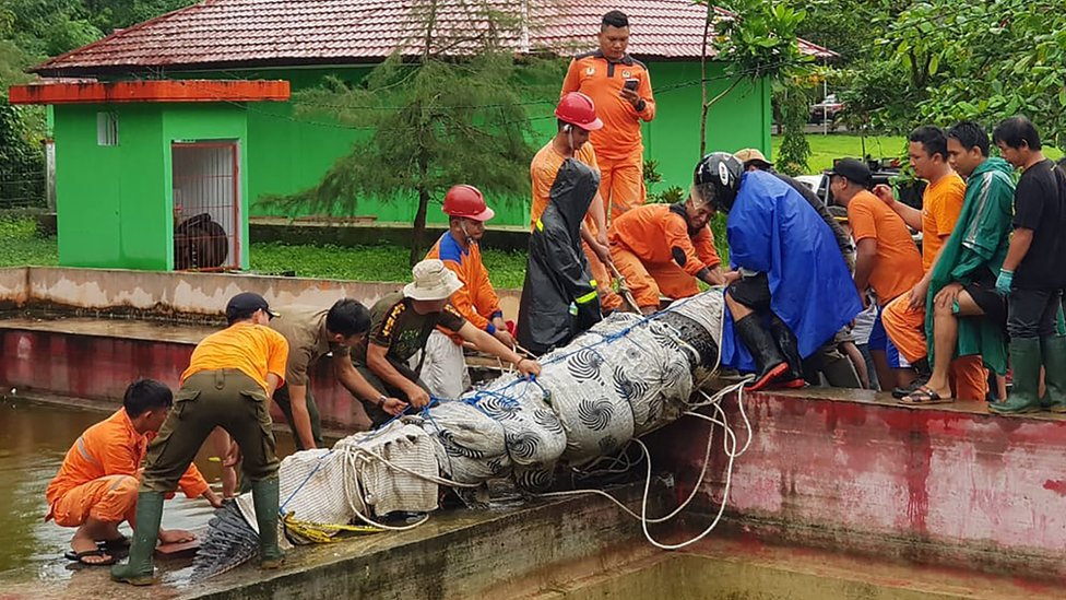 A 4.4 metre long crocodile named Merry being taken out of its enclosure in Minahasa in North Sulawesi