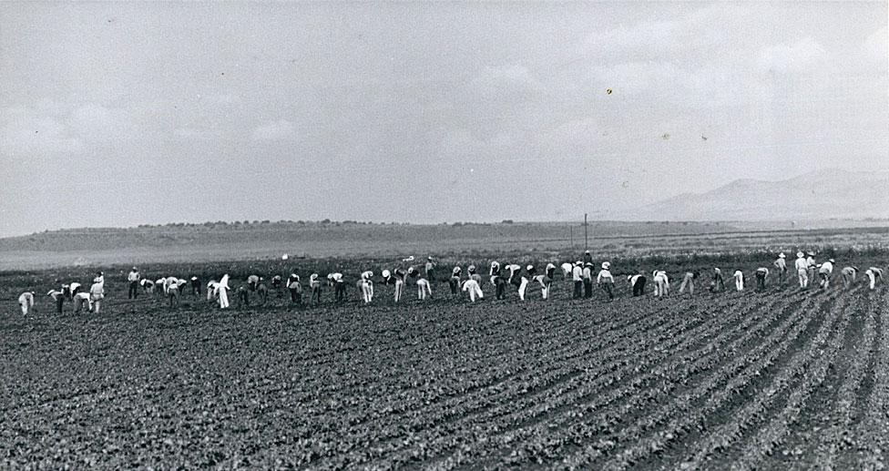 Campesinos mexicanos quitando malezas en una granja en Colorado