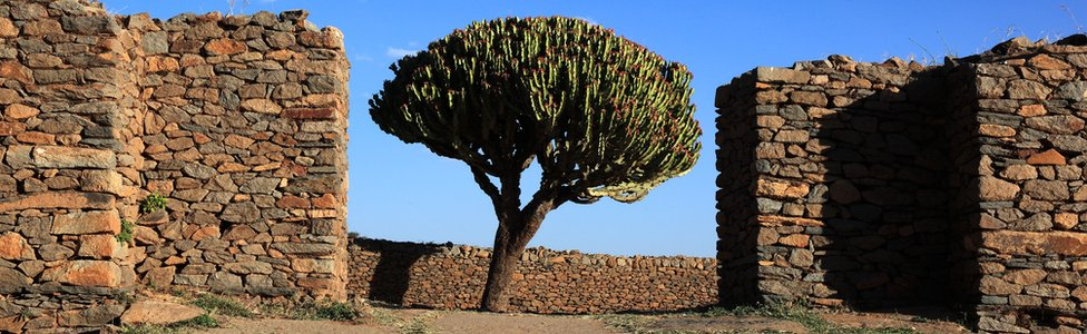 A tree in the city of Aksum, Ethiopia
