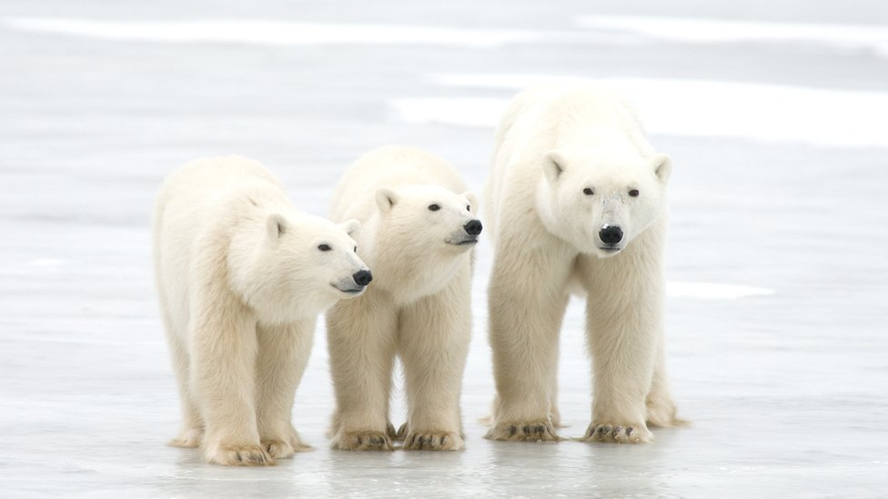 Polar bears rely on sea ice to catch their prey