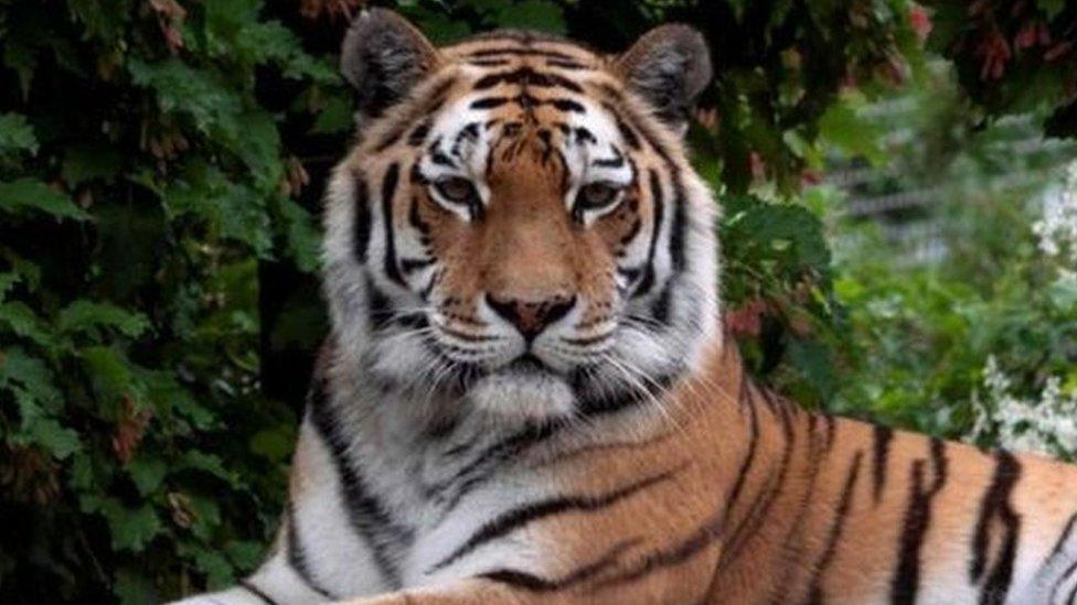 Un tigre siberiano en una foto de archivo.