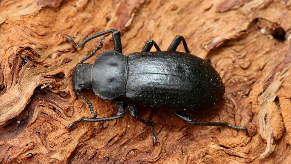 Iphthiminus italicus