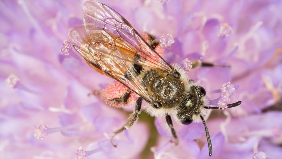 Small Scabious Mining-bee (Andrena marginata)