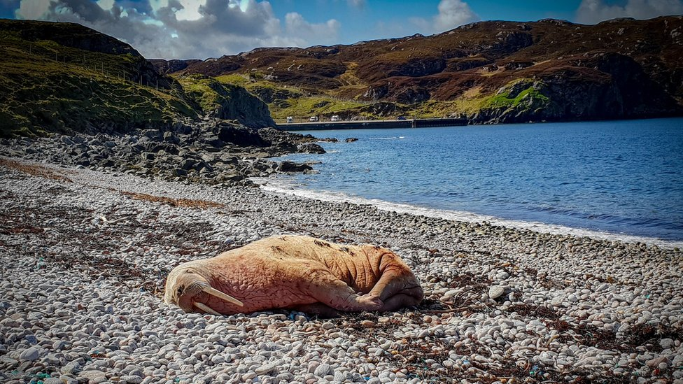Arctic walrus spotted in Scotland 'looks healthy'