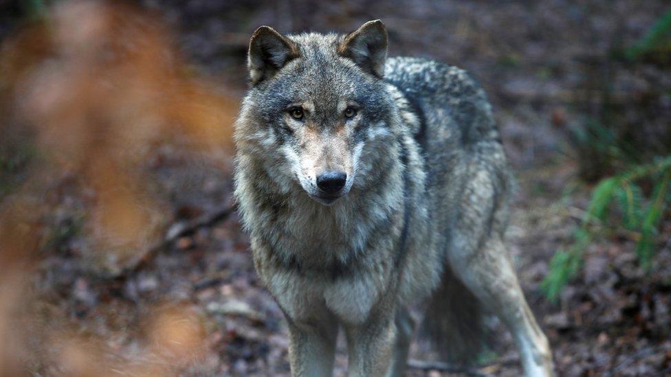 Wolf in wildlife park in Germany