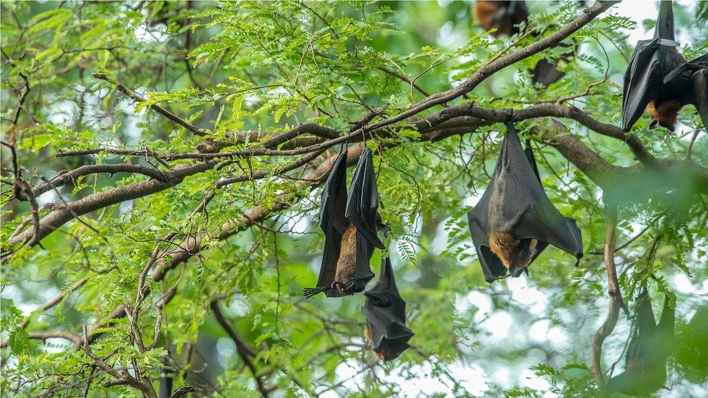 科學家說,雖然蝙蝠帶有很多病毒,但也因為吃昆蟲,能幫助人類控制疾病,因此消滅蝙蝠不是好的解決辦法。