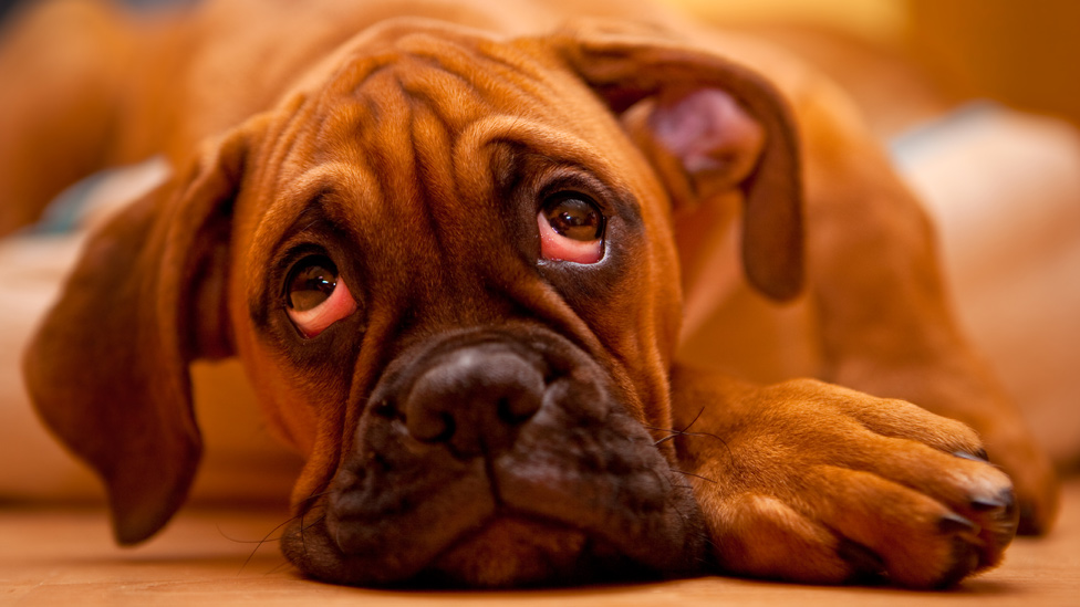 Dog with sad expression