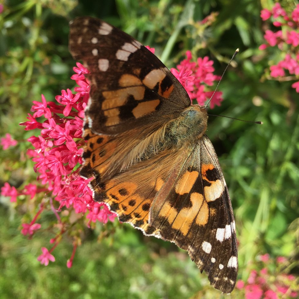 A painted lady butterfly on top of a flower.