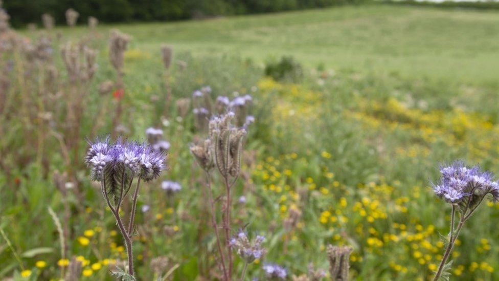 Field margin flowers