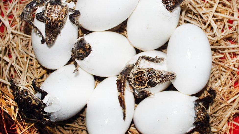 Huevos de caimán con bebés naciendo.
