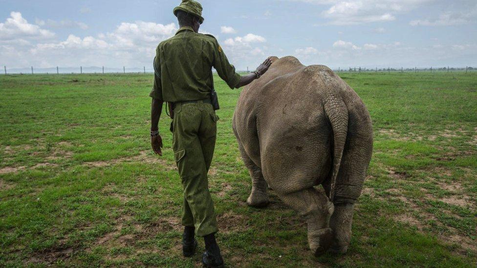 Najin or Fatu being led into a pasture by a caretaker