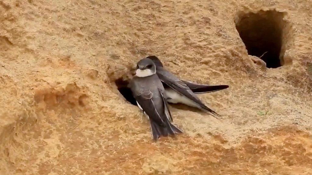 Bacton sand martins return to cliff burrows after nets removed