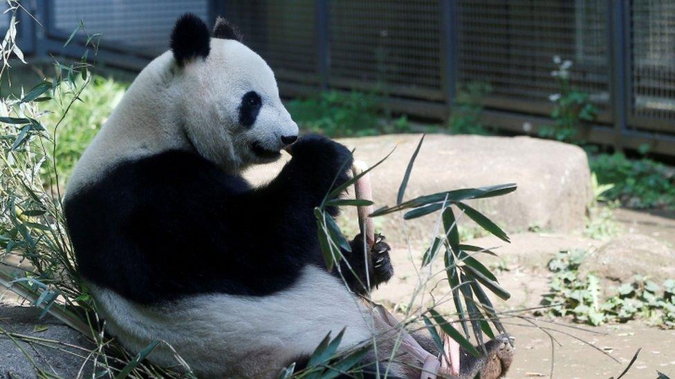 Image shows the giant panda Shin Shin