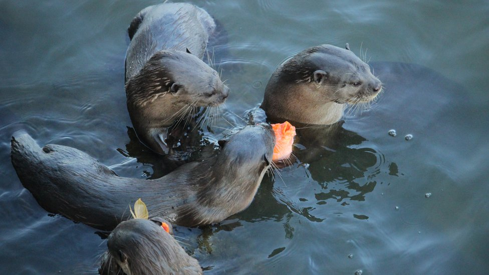 Four otters crowd around some fish in the water