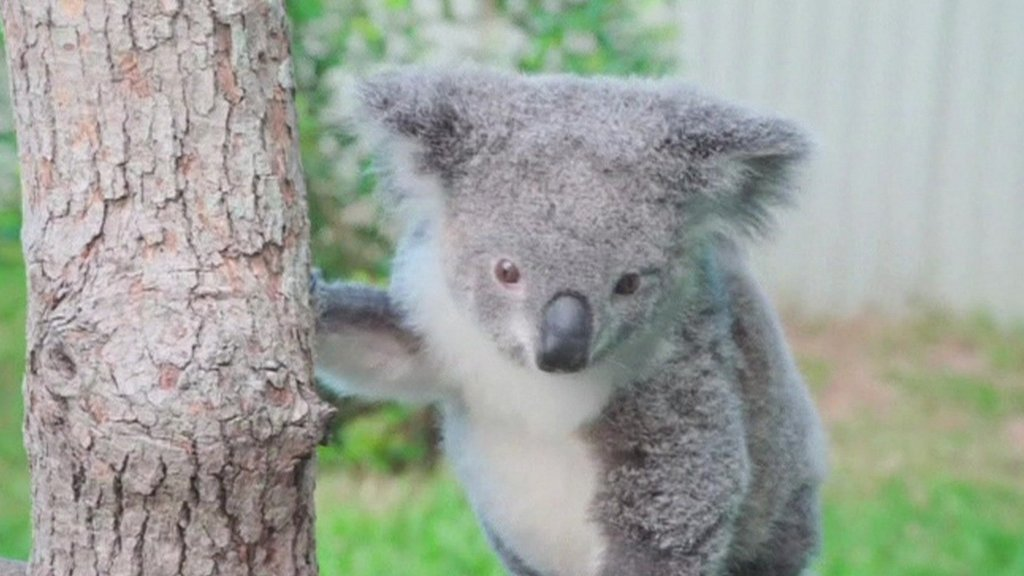 Peta the Koala climbing a tree after recovering from an accident