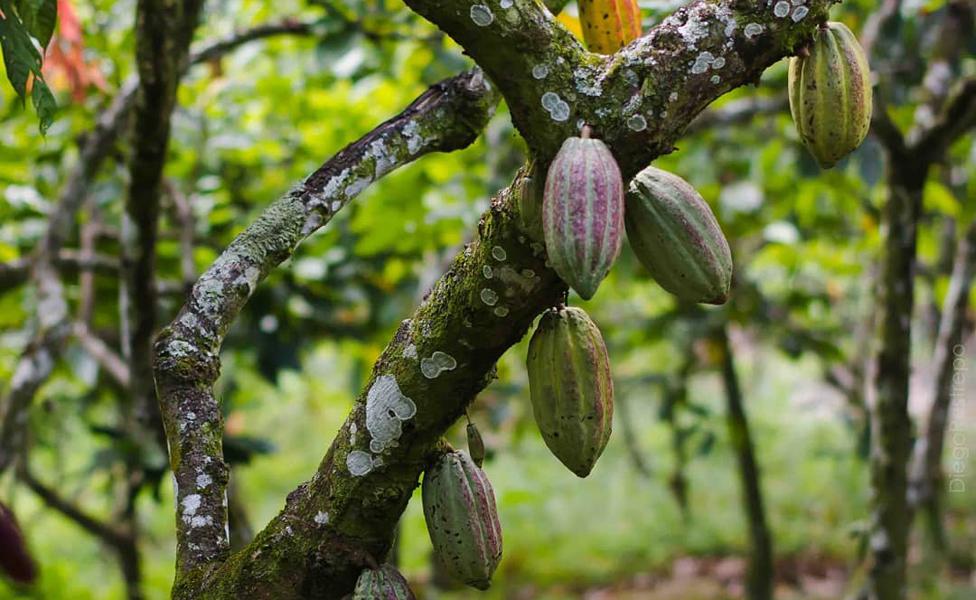 El Estado Táchira es una de las zonas de Venezuela donde es más fácil producir cacao.