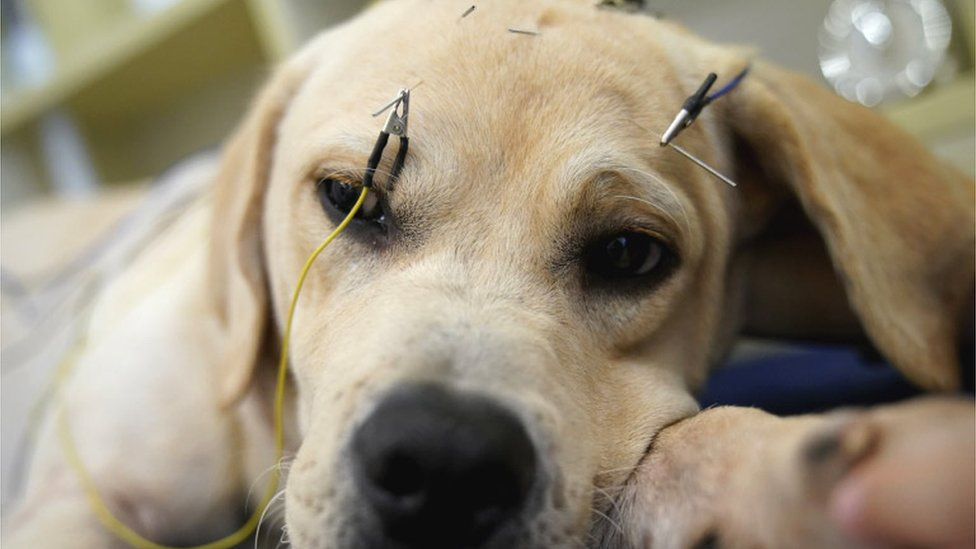 A dog is seen with acupuncture needles and electrical wire on his face in an extreme close up