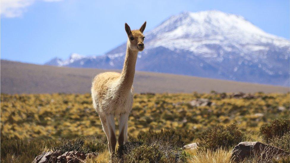 Vicuña en el desierto de Atacama, Chile