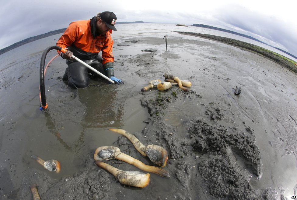 Geoducks being harvested at Taylor Shellfish, Washington State