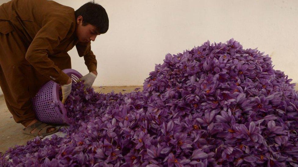 Se necesitan alrededor de 150.000 flores para producir solo un kilogramo de azafrán.