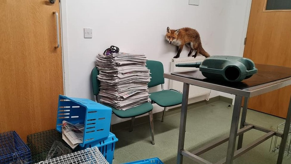 Fox stuck in a watering can