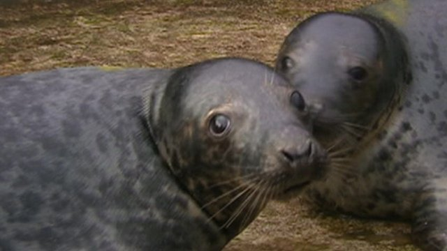 Grey seal pup twins R2-D2 and C-3PO