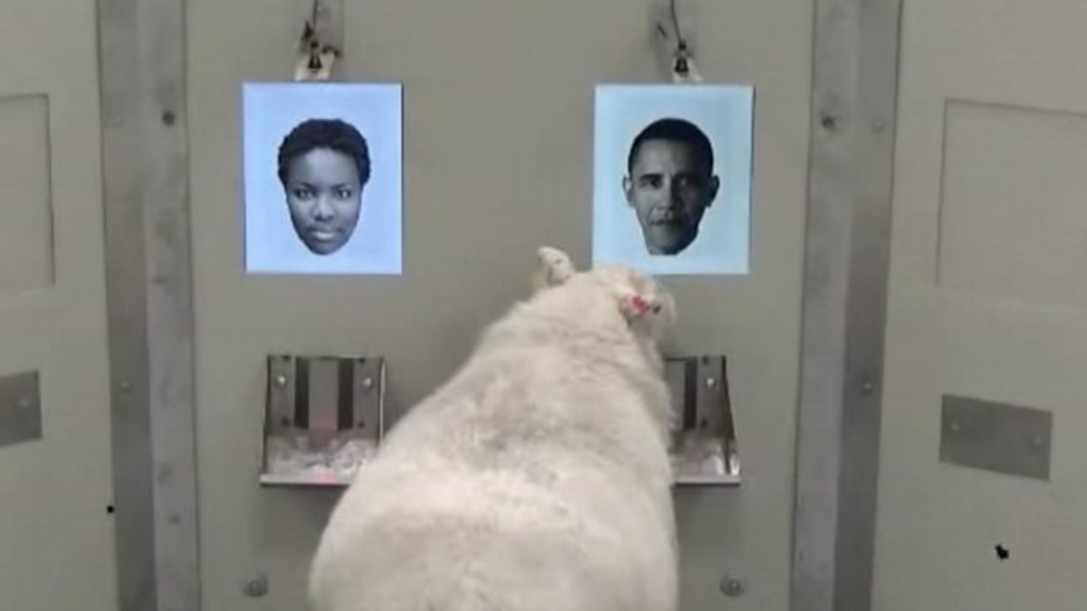 A sheep conducting an experiment, seemingly recognising the face of former US President Barak Obama