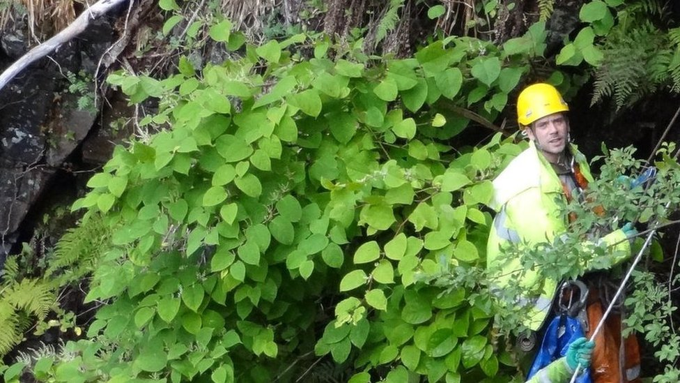 National Trust to root out knotweed and rhododendron species