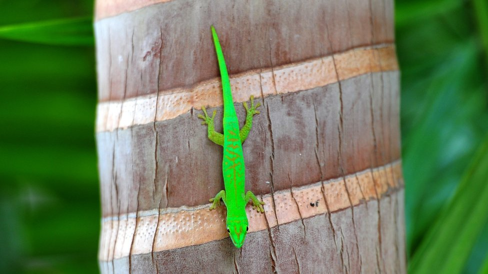 Green Gecko on a palm tree