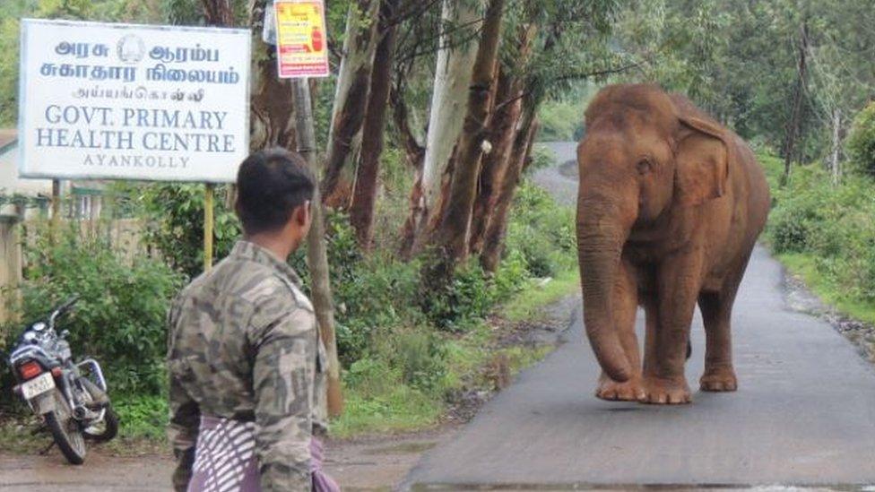Wild elephant Ganesan