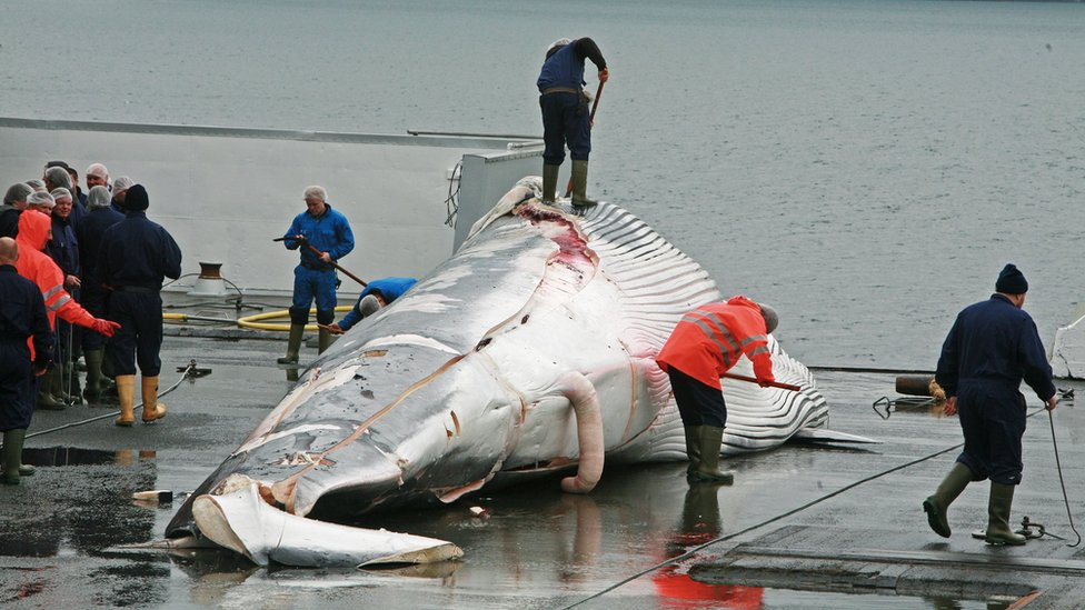 Handout photo of fin whale corpse in Iceland