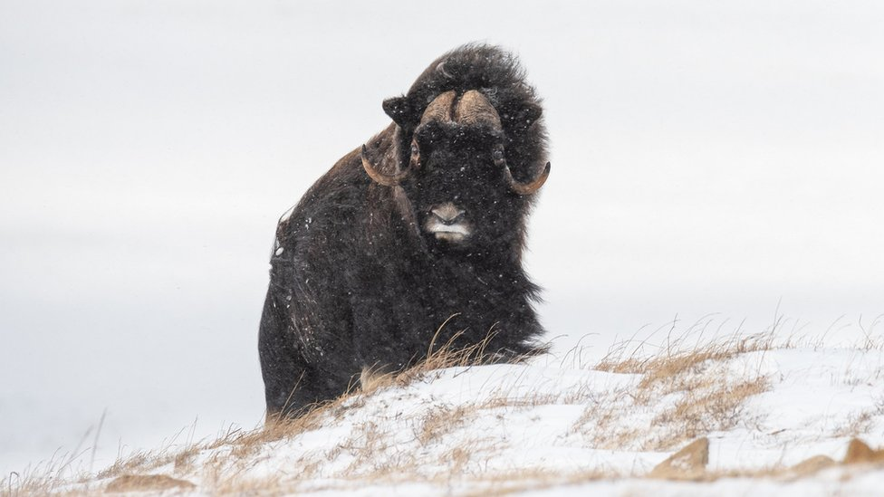 Musk-ox in Siberia walking on snow covered ground