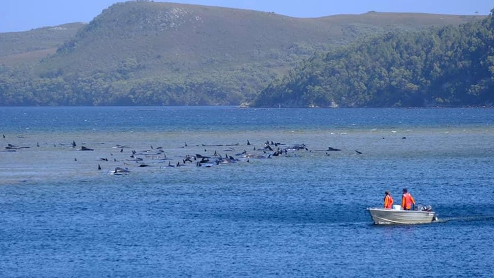 Observers in a small boat watch a pod of pilot whales stuck on sandbars off Macquarie Heads in Tasmania