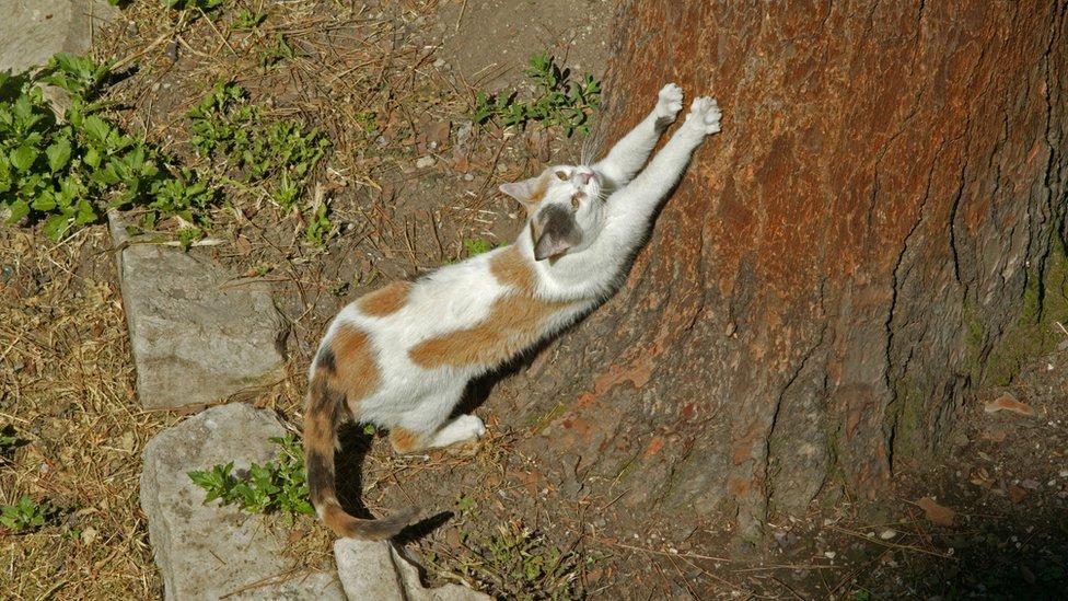 Mačke vole da koriste duge drvene predmete kao grebalice