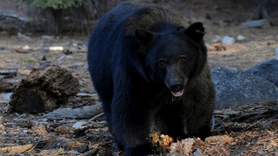 Medved u nacionalnom parku centralne Kalifornije