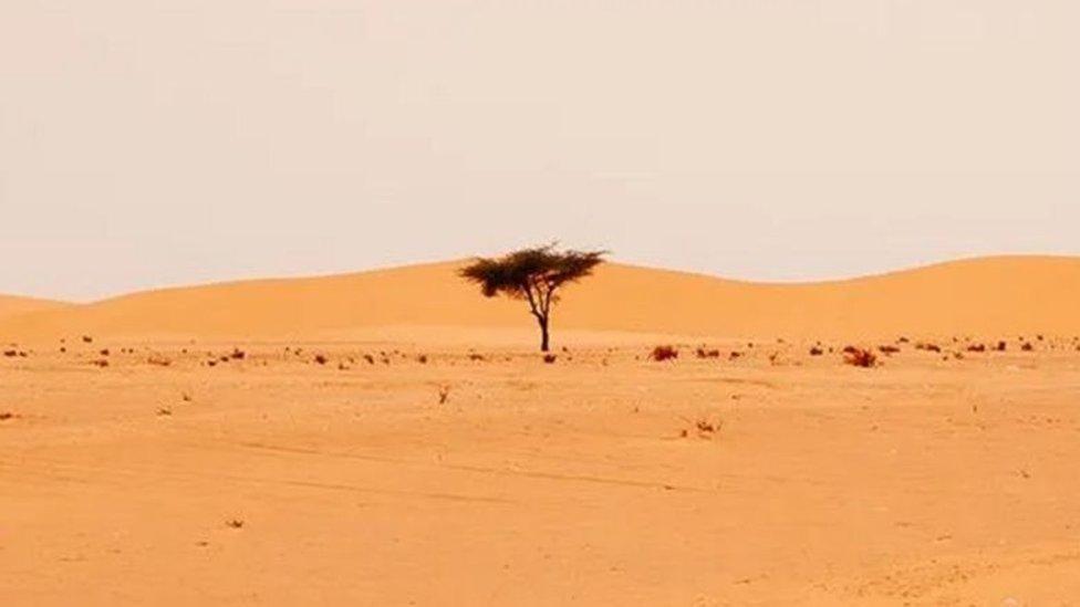 pohon di Sahara