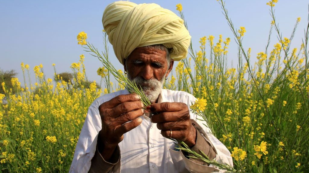 Mustard farmer in India